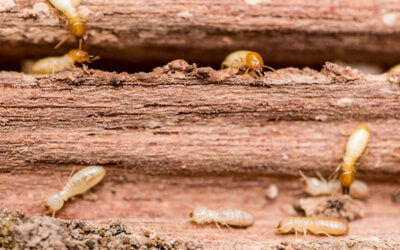 HOW DO YOU FIND TERMITES?